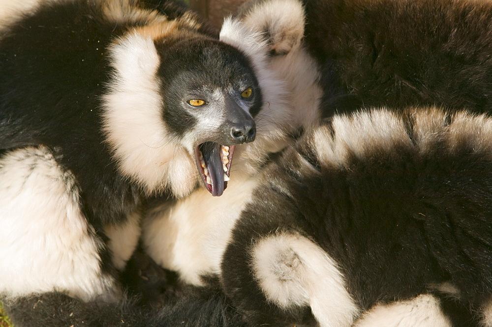Ruffed lemurs in a cuddle