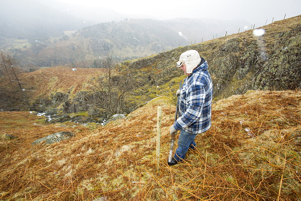 Planting native English trees around the fells above Thirlmere Reservoir in the Lake District, Cumbria, England, United Kingdom, Europe