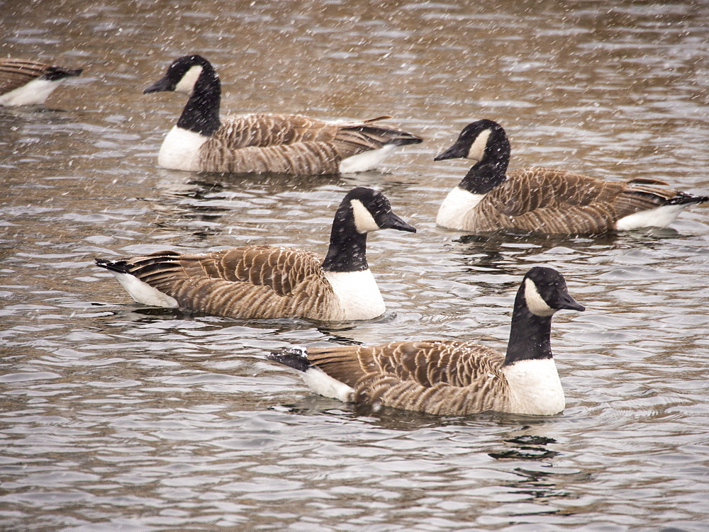Canada Geese (Branta canadensis) during a snow storm on Windermere, Lake District, Cumbria, England, United Kingdom, Europe