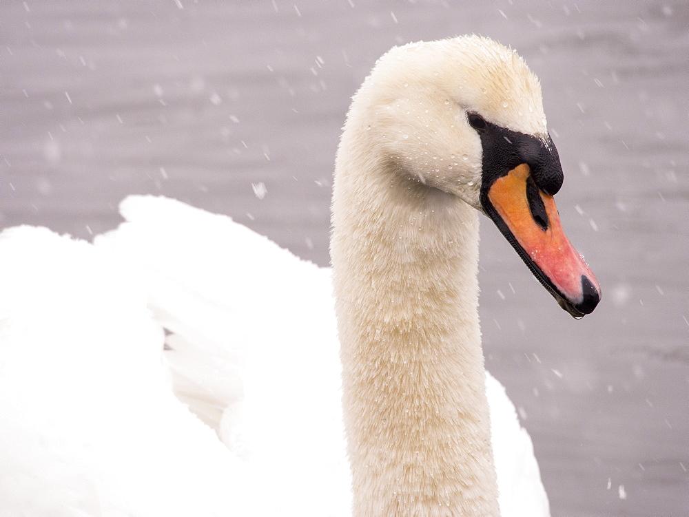 Mute swan (Cygnus olor) in the snow on Lake Windermere, Lake District, Cumbria, England, United Kingdom, Europe