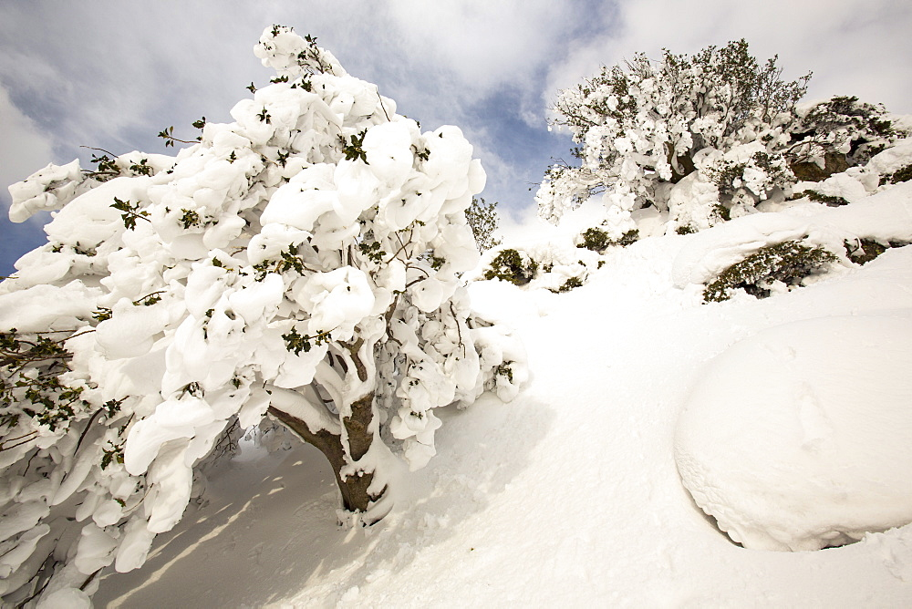 Holly tree covered in snow on the side of Helvellyn, in the extreme weather event of late March 2013, Lake District, Cumbria, England, United Kingdom, Europe