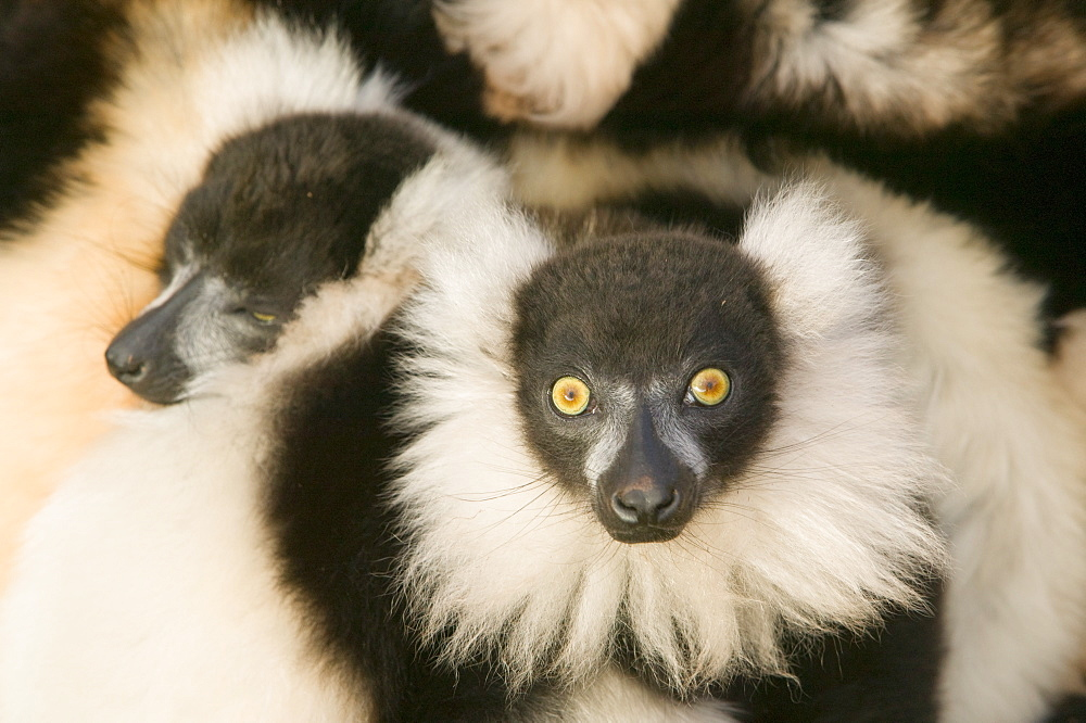 Ruffed lemurs in a cuddle
