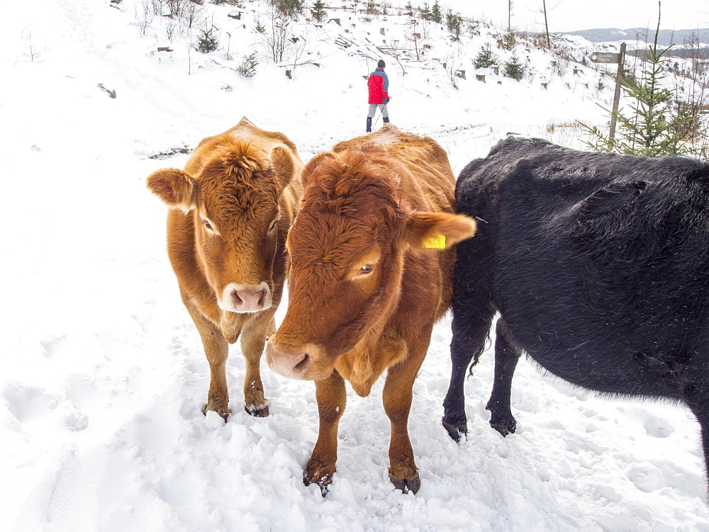 Cows surviving outside during the late March 2013 extreme weather event, near Hawkshead, Lake District, Cumbria, England, United Kingdom, Europe