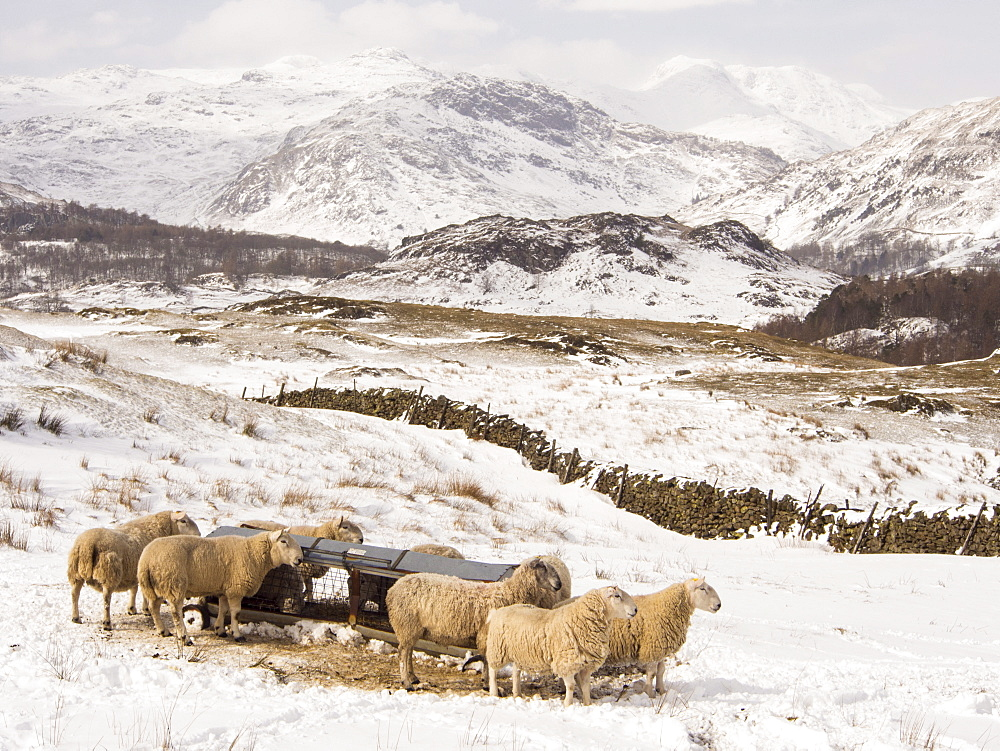Sheep brave the extreme weather event of late March 2013 near Ambleside in the Lake District, Cumbria, England, United Kingdom, Europe