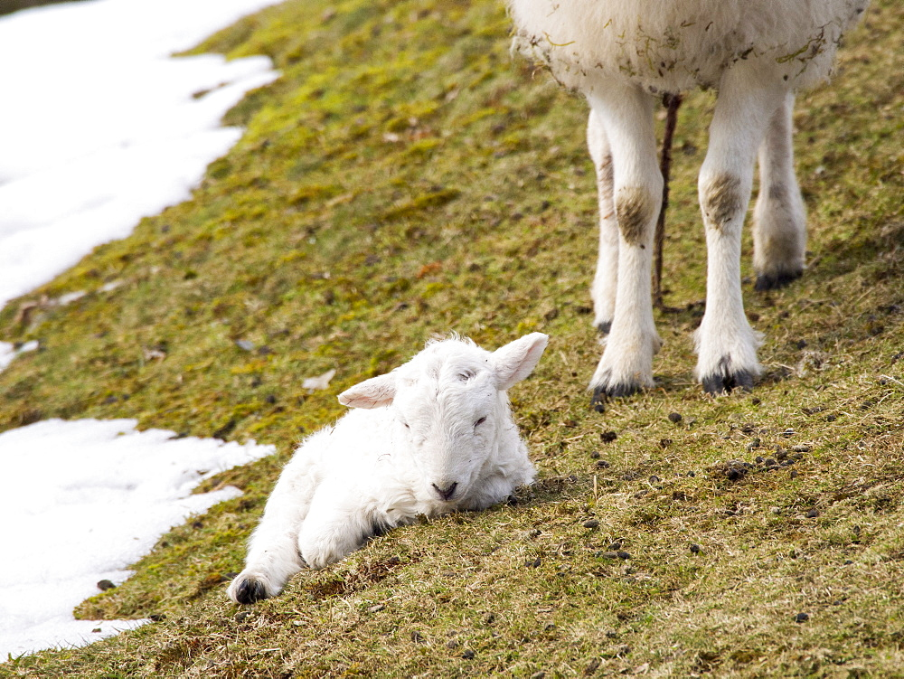 A young lamb born in unseasonal winter conditions in late March 2013 on the Long Mynd, Shropshire, England, United Kingdom, Europe