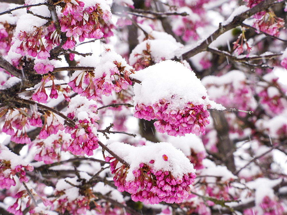 Cherry blossom covered in snow in Ambleside during the extreme weather of late March 2013, Lake District, Cumbria, England, United Kingdom, Europe