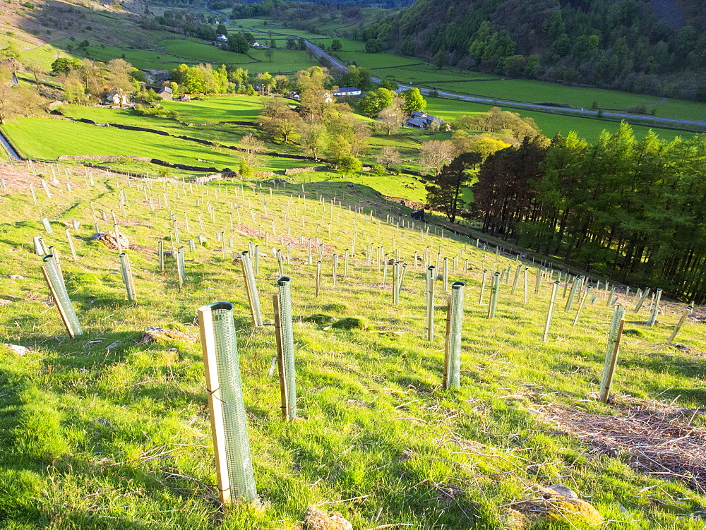 Tree planting above Thirlmere in St. Johns in the Vale near Keswick, Lake District National Park, Cumbria, England, United Kingdom, Europe