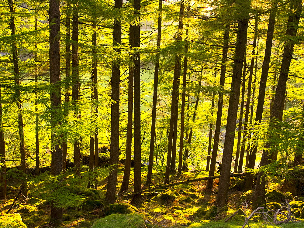 A conifer plantation at sunset, in St. Johns in the Vale near Keswick, Lake District National Park, Cumbria, England, Unnited Kingdom, Europe