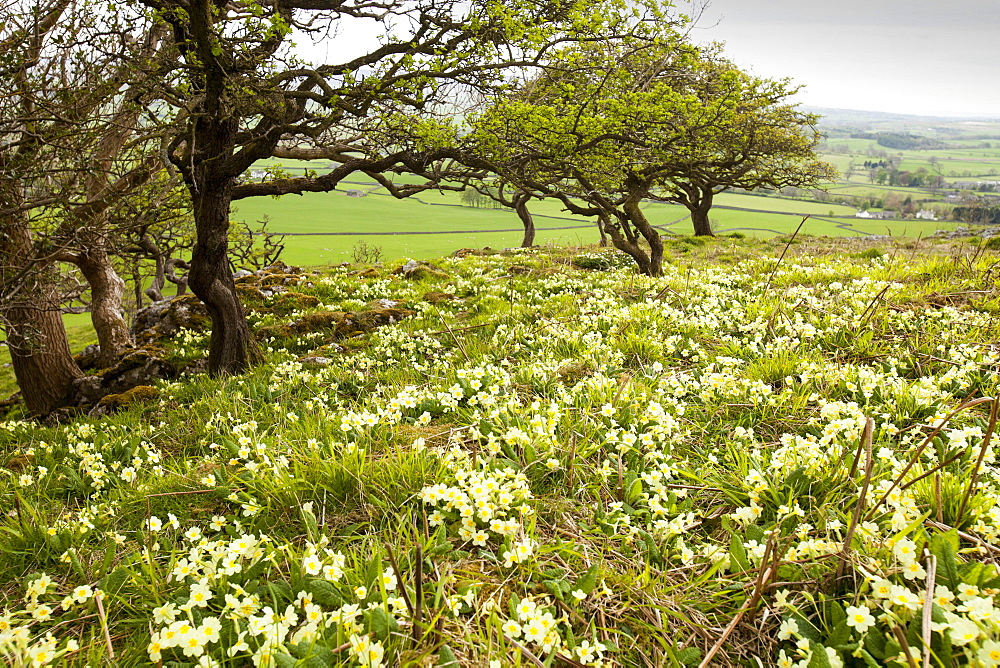 Wood anemone and primroses growing in Oxenber woods above Austwick, Yorkshire Dales, Yorkshire, England, United Kingdom, Europe