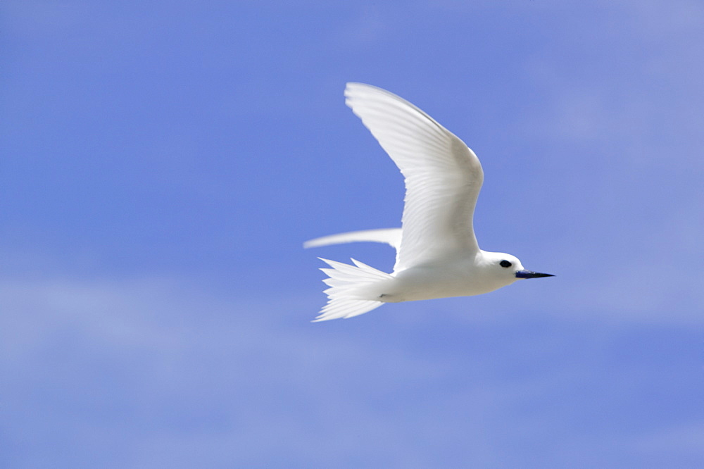 White tern off Tepuka Island, Tuvalu, Pacific