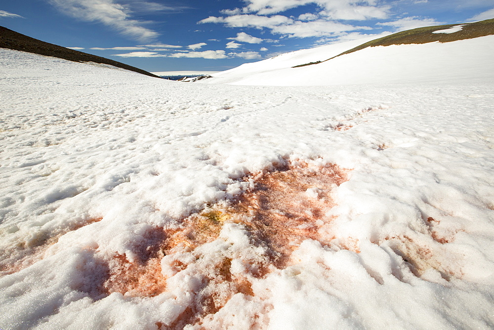 Red algae in the snow on a receding glacier in Suspiros Bay on Joinville Island just off the Antarctic Peninsular. The peninsular is one of the fastest warming places on the planet.
