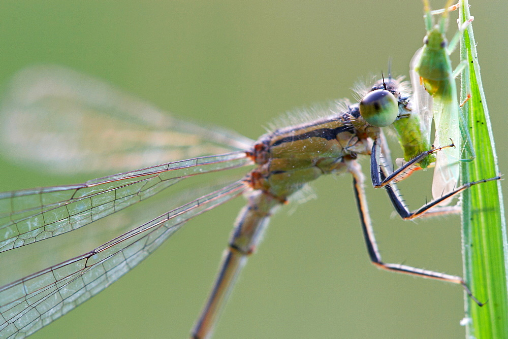 Predator's portrait. Nature, Moldova, insect, summer, Green,  macro, Dragonfly, aphid