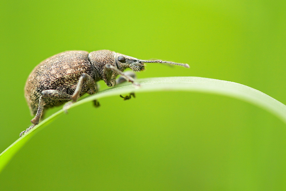 The idler. Nature, Moldova, insect, summer, Green,  macro, weevil
