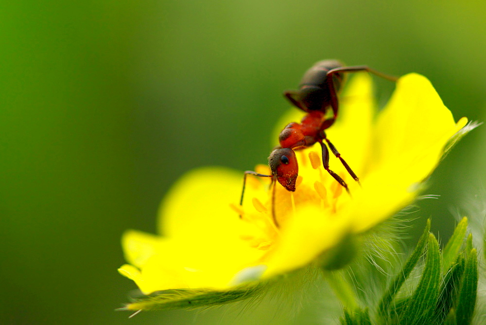 Ant and a flower. Nature, Moldova, ant, ants, insect, summer, Green,  Flower, Seed - 912-5