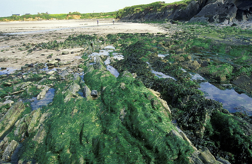 Algal turf growth after Sea Empress oil spill, Pembrokeshire      (rr)
