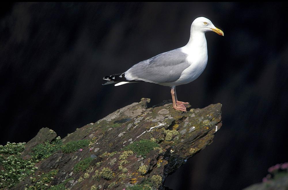 Herring Gull, Pembrokeshire Coast National Park, Wales, UK     (rr)