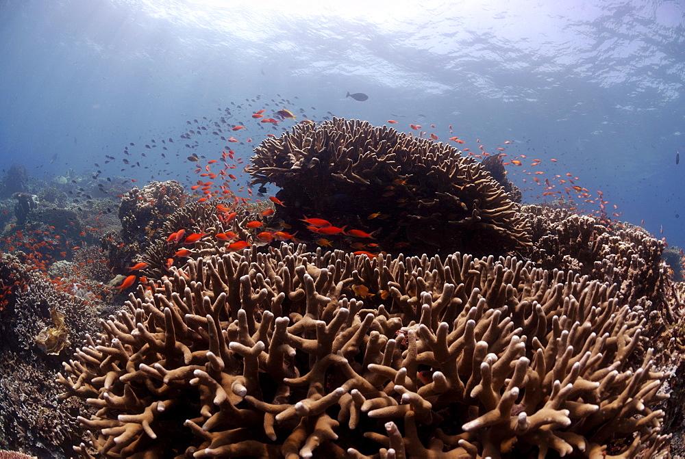 Acropora hard corals ( Porites antennuata) and school of Anthia fish, reef crest, Sipadan, Sabah, Malaysia, Borneo, South-east Asia