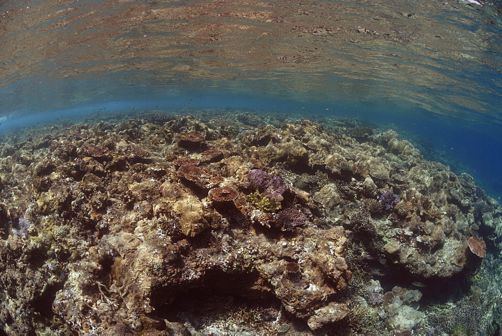 Hard corals on reef crest, Sipadan, Sabah, Malaysia, Borneo, South-east Asia