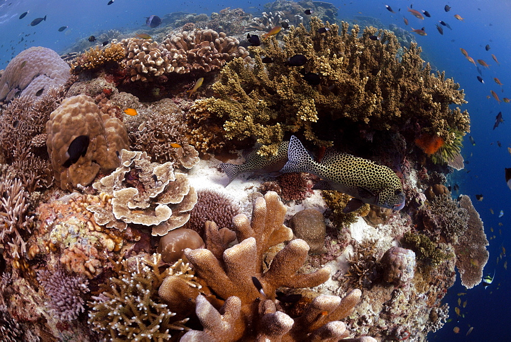 Hard corals on reef crest and Many-spotted sweetlips ( Plectorhinchus chaetodontoides ), Sipadan, Sabah, Malaysia, Borneo, South-east Asia     (rr)