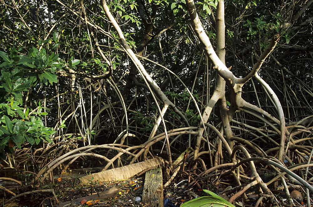 Liitter and mangrove roots, Belize Barrier Reef, Caribbean