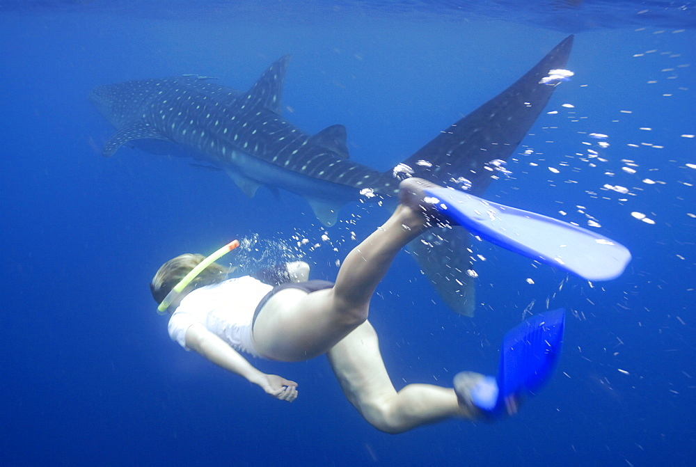 Whale shark researcher snorkelling underwater with Whale Shark