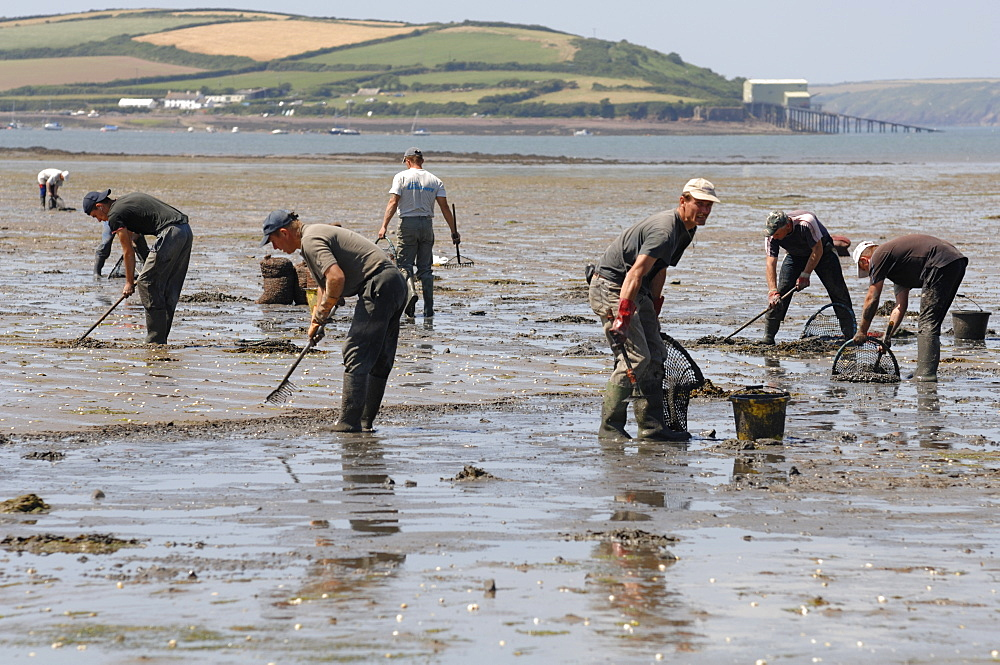 Gang of immigrant cockle pickers, Angle Bay, Milford Haven, Pembrokeshire, Wales, UK, Europe