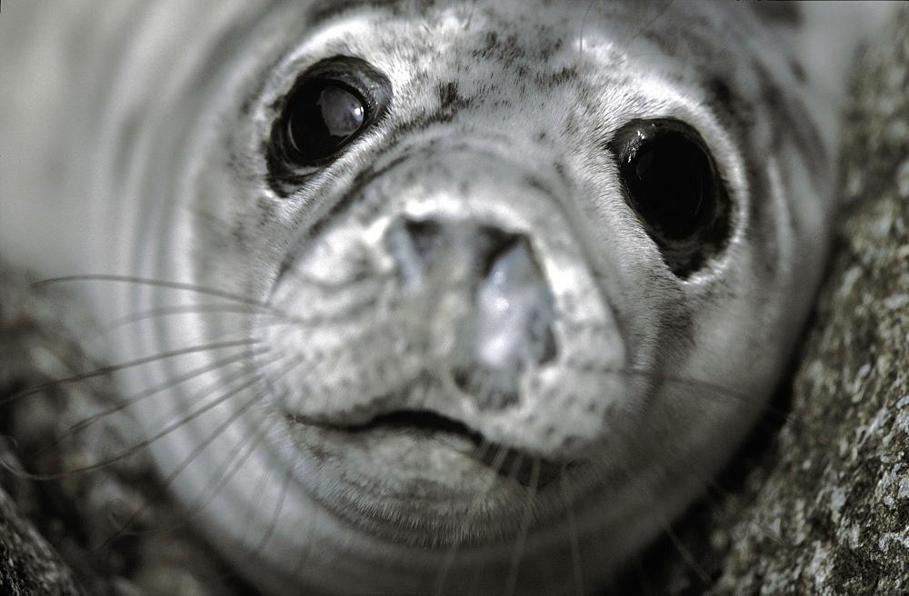 Atlantic Grey Seal pup, Halichoerus grypus, Skomer Island, Pembrokeshire, Wales, UK, Europe         (rr)