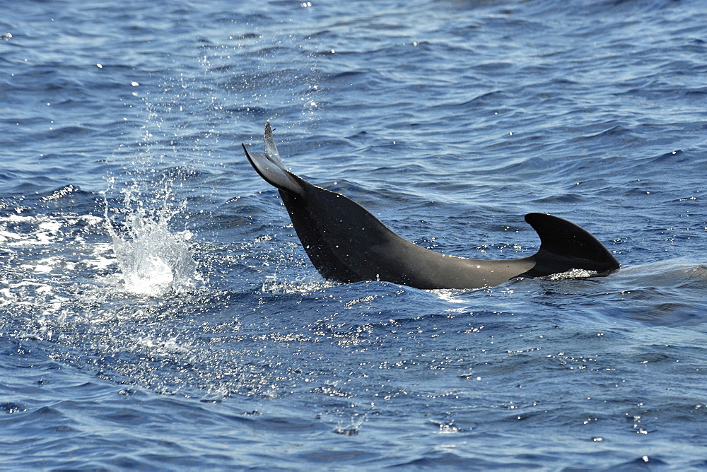 Short-finned Pilot Whale (Globicephala macrorhynchus). Azores, North Atlantic. Taken 2008