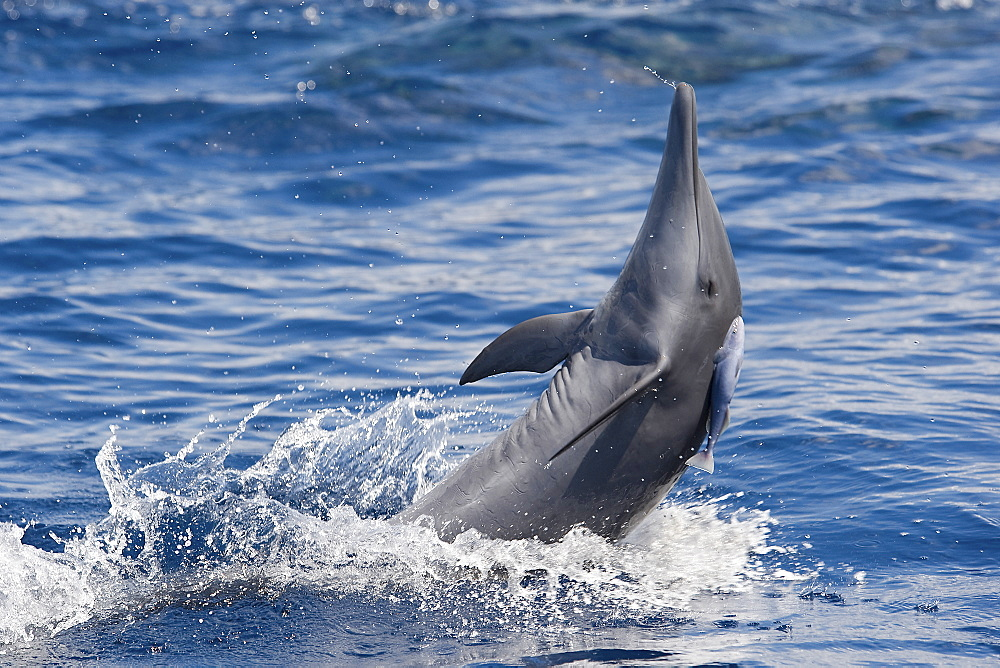 Central American Spinner Dolphin, Stenella longirostris centroamericana, spinning with small Remora attached, Costa Rica, Pacific Ocean.