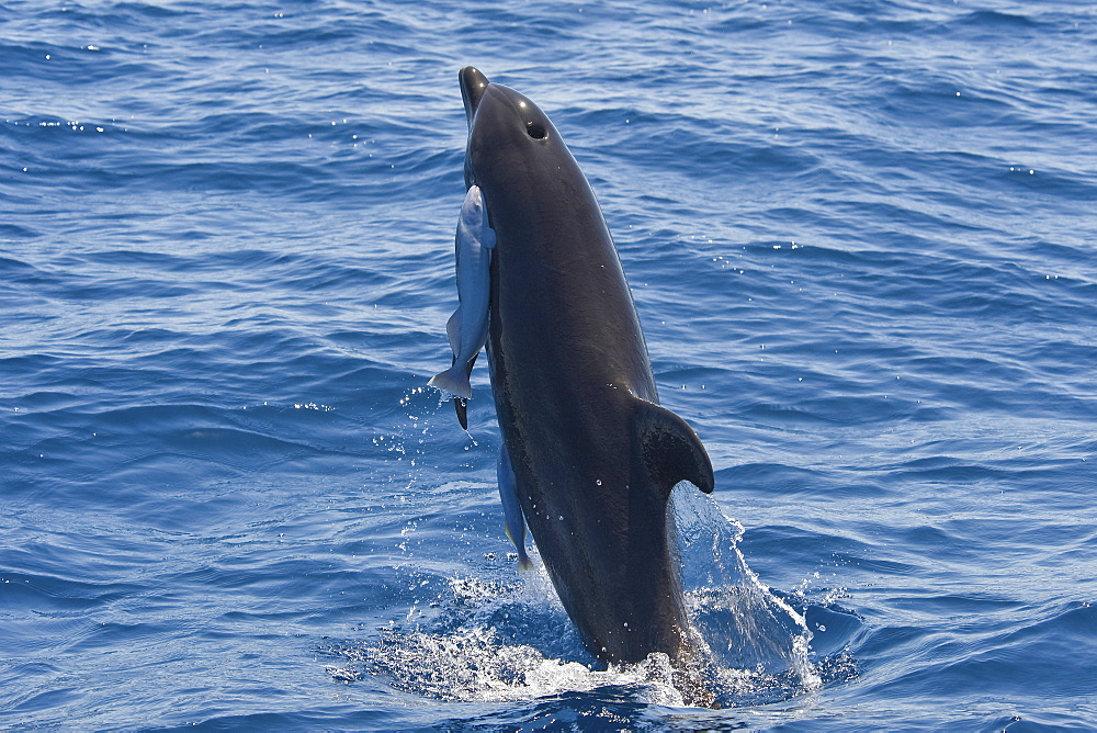 Common Bottlenose Dolphin, Tursiops truncatus, breaching with two large Remora's attached, Costa Rica, Pacific Ocean.