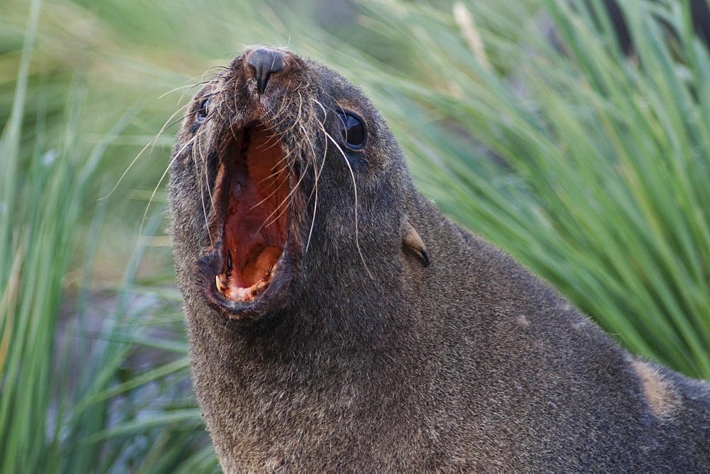 Antarctic Fur Seal, Arctocephalus gazella, roaring, South Georgia, South Atlantic Ocean.