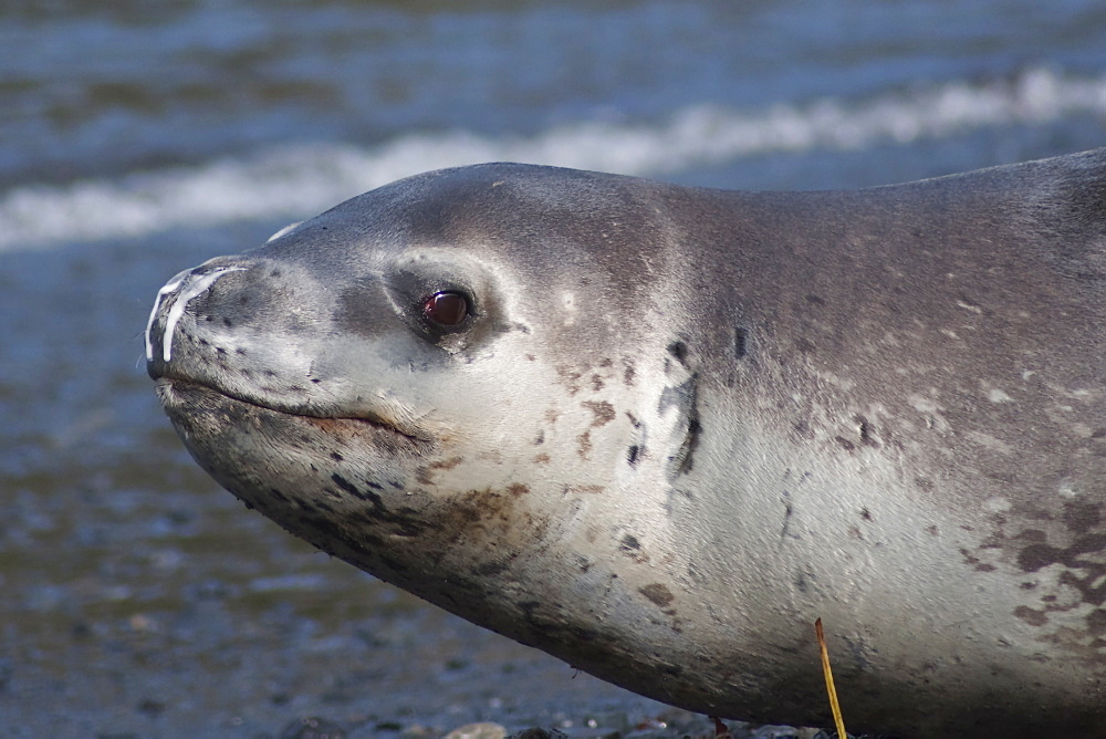 Leopard Seal, Hydrurga leptonyx, more commonly seen hauled out on ice further South, this is a rare sighting on a South Georgia beach, South Atlantic Ocean