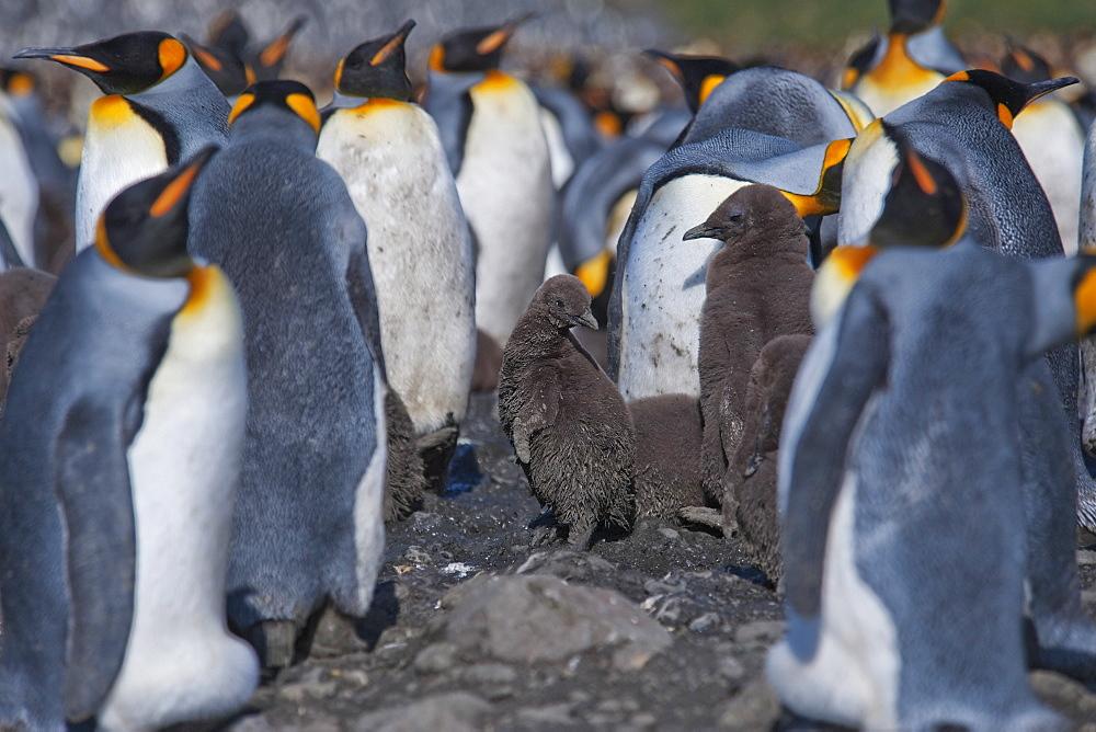 King Penguin chick, Aptenodytes patagonicus, amongst colony, Salisbury Plain, South Georgia, South Atlantic Ocean.