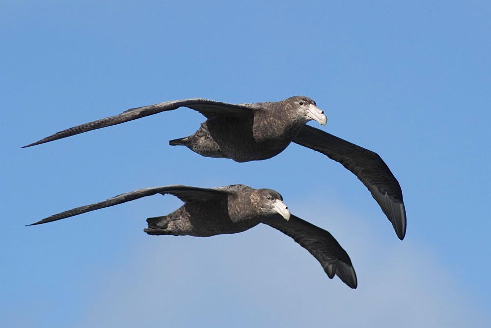 Southern Giant Petrels, Macronectes giganteus, flying in unison, Gough Island, South Atlantic Ocean.