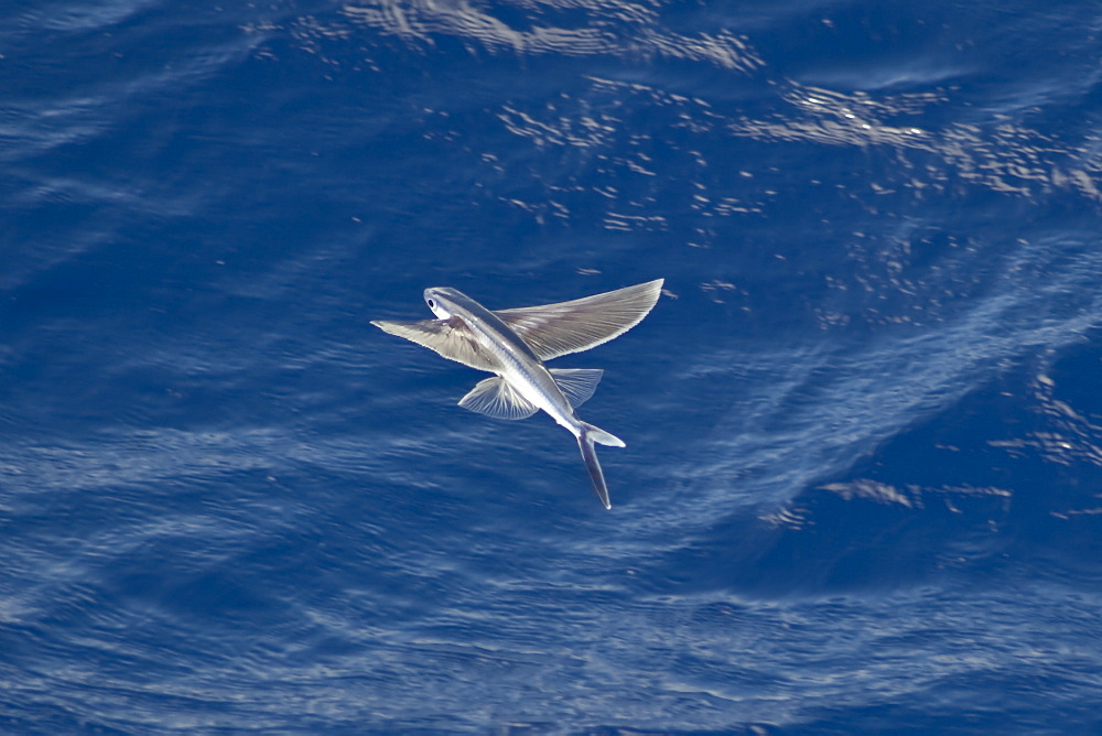 Flying Fish Species in mid air, scientific name unknown, South Atlantic Ocean.