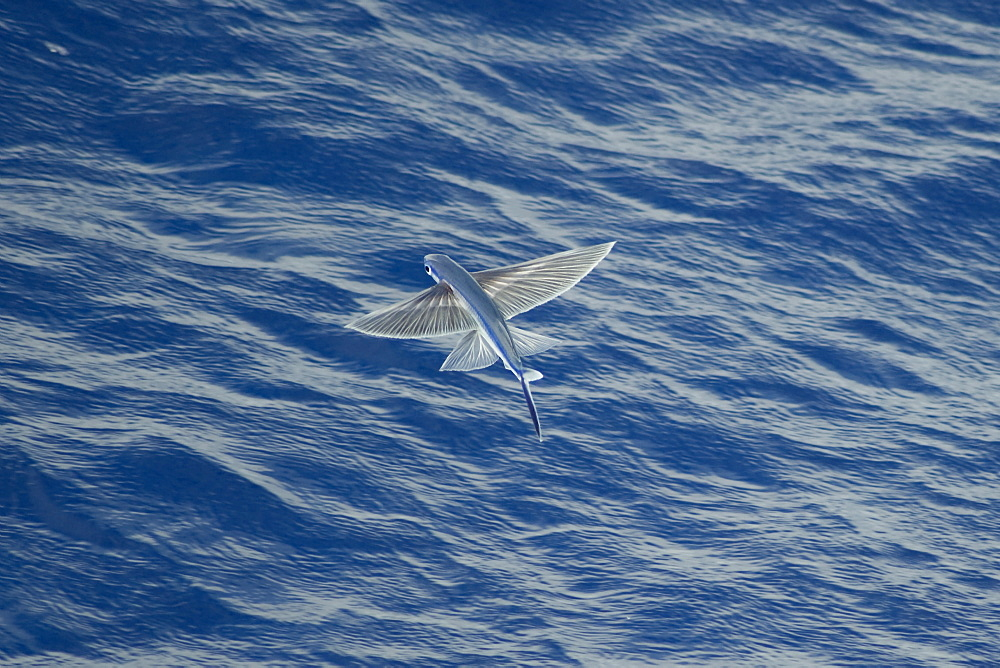 High quality stock photos of atlantic flying fish for Flying fish name