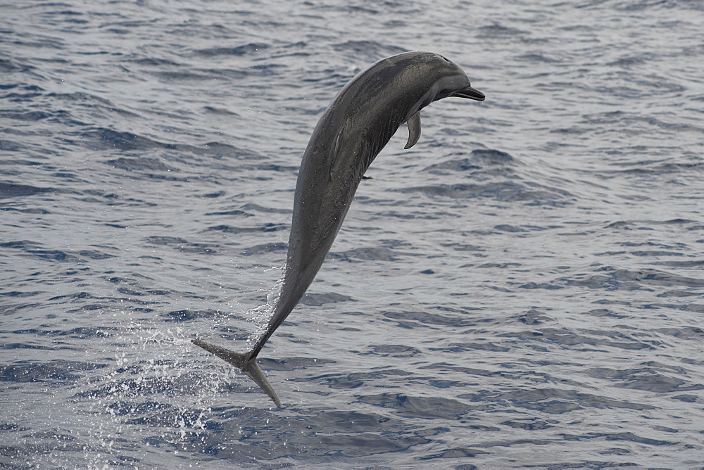 Pantropical Spotted Dolphin, Stenella attenuata, breaching with small Remora attached, Island of Saint Helena, South Atlantic Ocean.