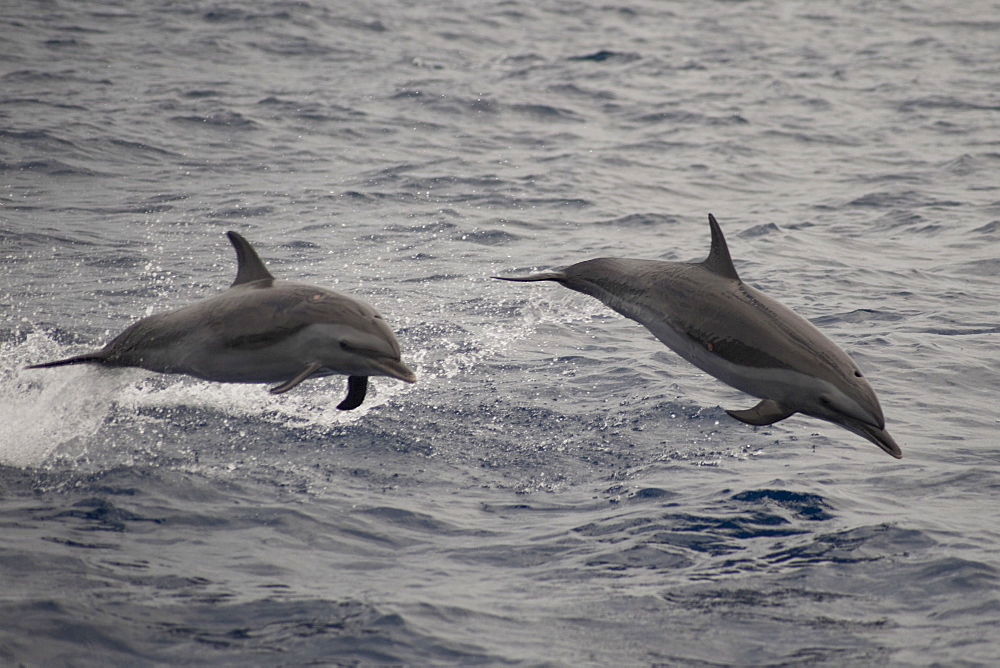 Pantropical Spotted Dolphins, Stenella attenuata, porpoising, Island of Saint Helena, South Atlantic Ocean.