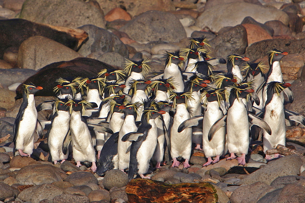 Northern Rockhopper Penguins, Eudyptes moseleyi, endangered, endemic to the Tristan Da Cunha island group, taken from a Zodiac at Gough Island (landing is not allowed on Gough Island itself), South Atlantic Ocean.