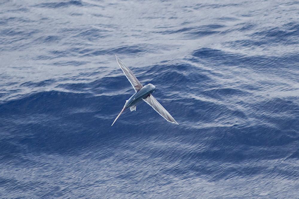 Flying Fish Species (scientific name unknown) rare unusual image, in mid-air. South Atlantic Ocean.