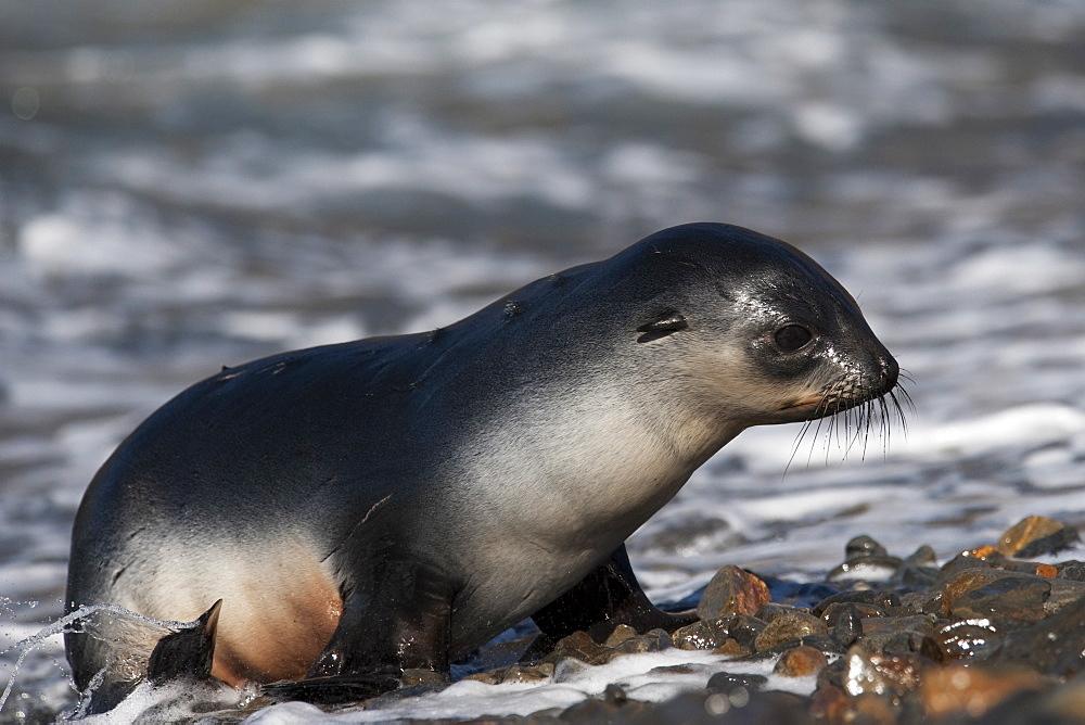 Antarctic Fur Seal (Arctocephalus gazella) juvenile animal. South Georgia, South Atlantic Ocean.