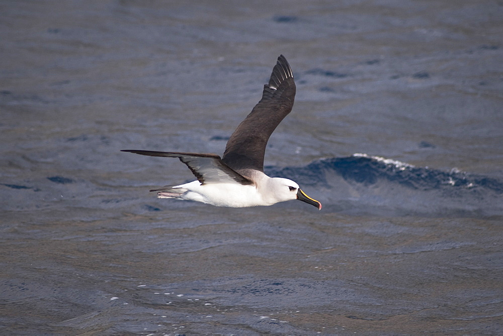 Atlantic Yellow-nosed Albatross (Thalassarche chlororhynchos chlororhynchos) adult bird taking off. Off the Island of Tristan Da Cunha, South Atlantic Ocean.