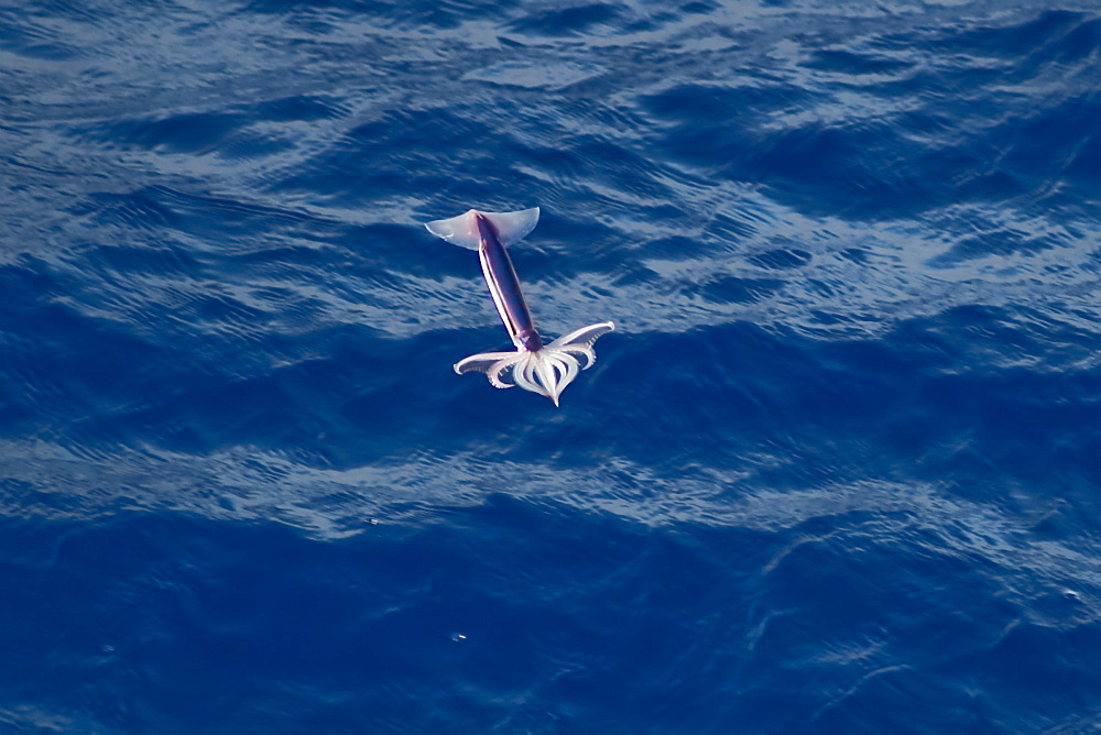 "Flying Squid Species in mid-air (Ommastrephes bartramii). Extremely rare unusual image.  South Atlantic Ocean. MORE INFO: Flying Squid use membranes between their tentacles (visible on pic) & two fins at the rear of the mantle to glide through the air in a similar way to flying fish. These unique adaptations allow them to avoid predation more easily. Ommastrephid squids are among the strongest swimmers in the Cephalopoda. A number of species are fished commercially. This particular species (Ommastrephes bartramii), is commonly known as ""Neon Flying Squid"" due to its colouration and its ability to glide over the ocean surface as seen in the photographs. Please note that this is a genuine image of a wild animal in its natural environment. It is not a digital manipulation."