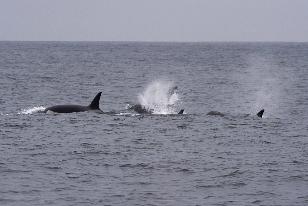 Transient killer whales (Orca) (Orcinus orca), hunting a California sealion (Zalophus californianus), Monterey, California, United States of America, North America