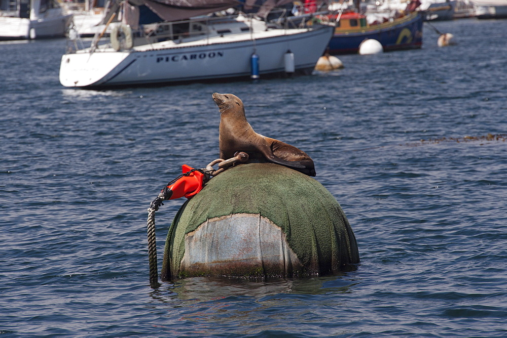 California sealion (Zalophus californianus), resting on buoy, Monterey, California, United States of America, North America