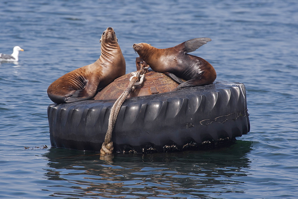 California sealions (Zalophus californianus), resting on buoy, Monterey, California, United States of America, North America