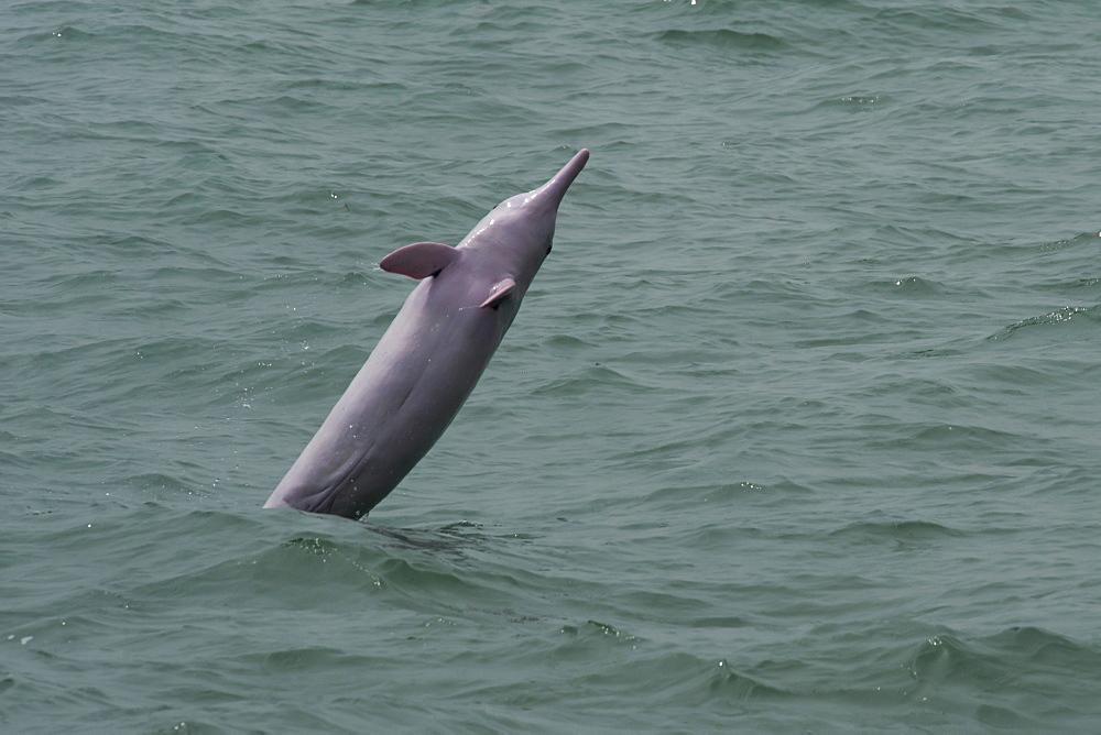 Indo Pacific humpback dolphin (Sousa chinensis) adult female breaching, Hong Kong, Pearl River Delta, China, Asia