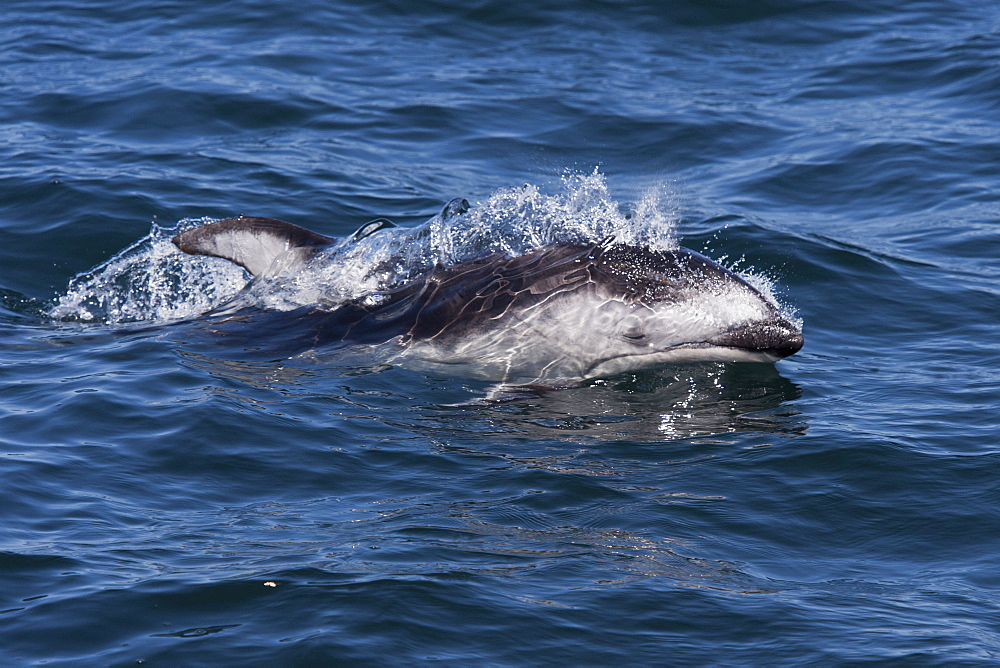 Pacific white-sided dolphin (Lagenorhynchus obliquidens) surfacing, Monterey, California, Pacific Ocean, United States of America, North America - 917-477