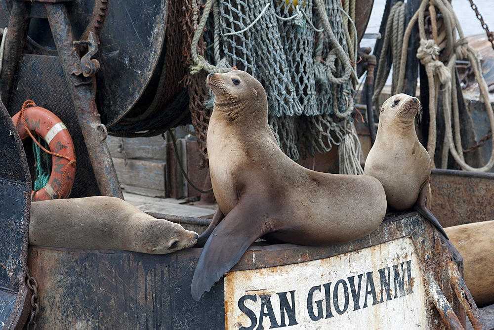 California sealions (Zalophus californianus) resting on fishing boat, Monterey, California, United States of America, North America