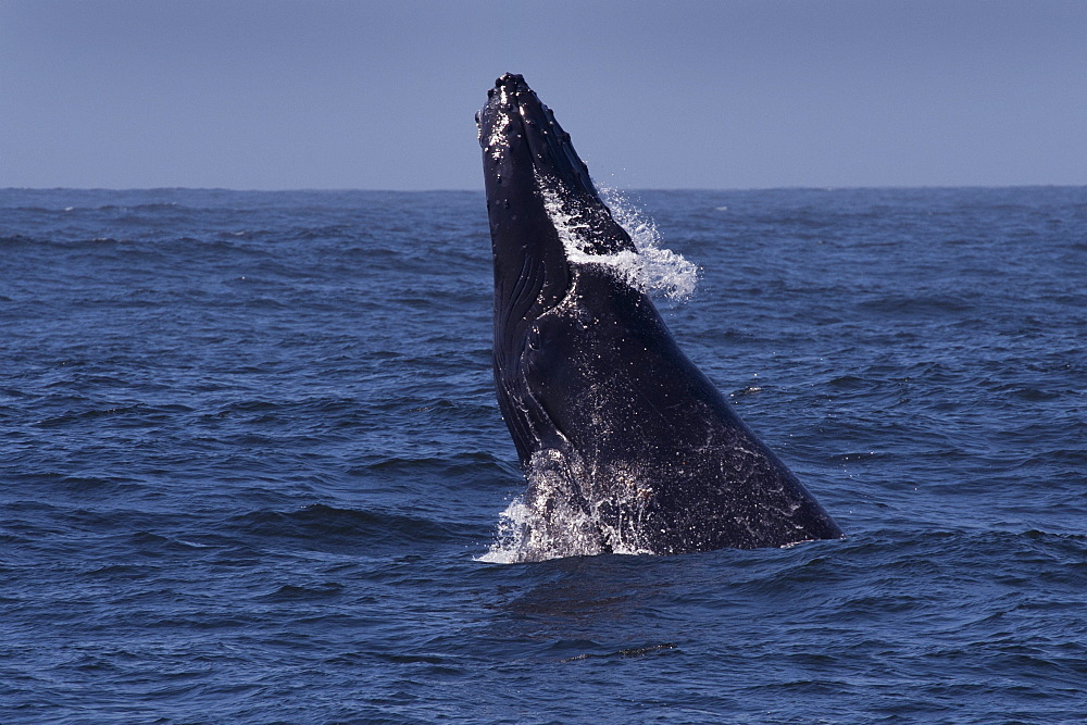 Humpback Whale (Megaptera novaeangliae) head-slapping, Monterey, California, Pacific Ocean, United States of America, North America - 917-481